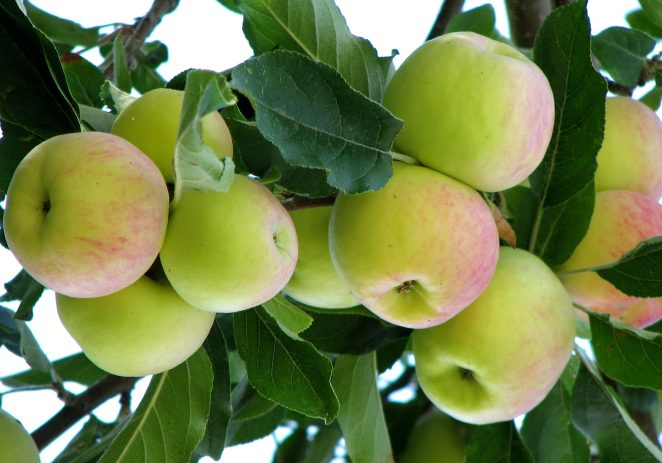 Will Kashmir's apple trade be affected by killing of truck driver?
