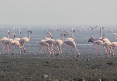 Bachi Karkaria's Tales from TJ Road: What Sewri's migratory flamingos have in common with their human counterparts